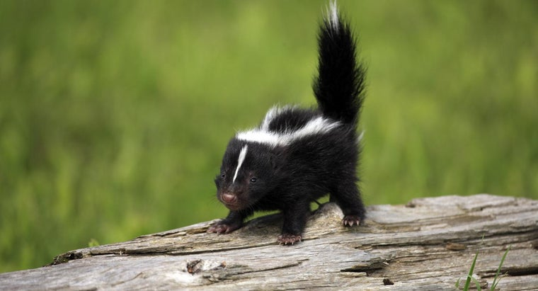 What Do Skunks Eat?