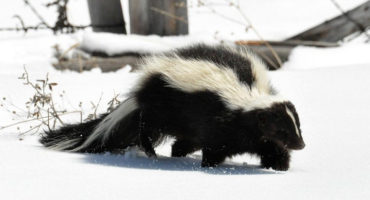 Do Skunks Hibernate?