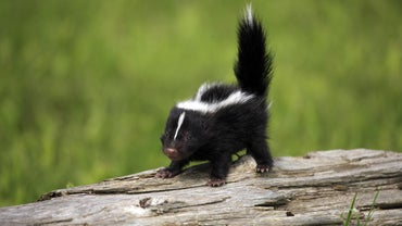 Where Do Skunks Live?