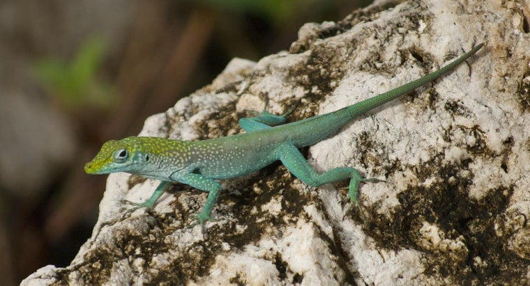 What Do Small Lizards Eat?