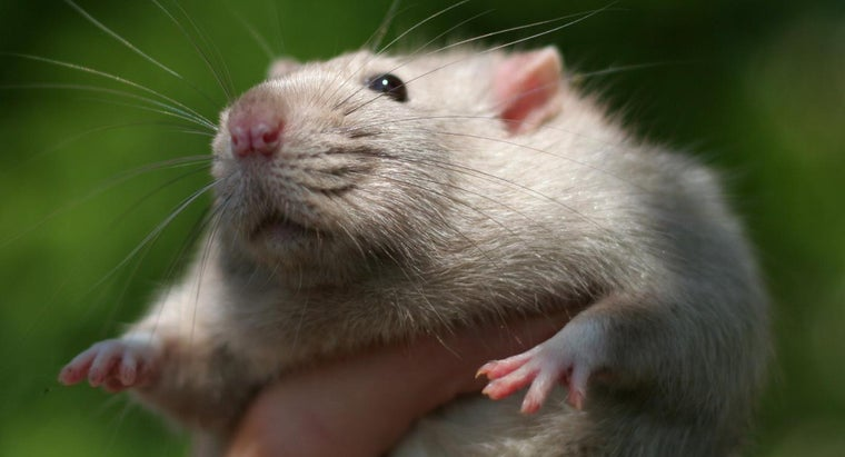 How Smart Are Rats?