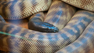 What Are a Snake's Enemies?