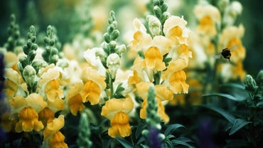 When Do Snapdragons Bloom?