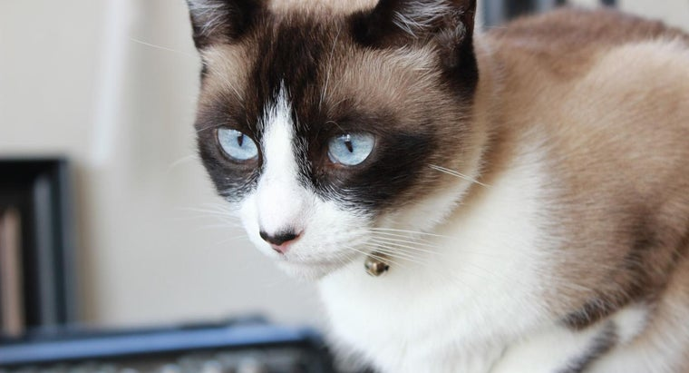 What Is a Snowshoe Siamese Cat?