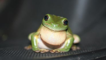 What Sound Does a Frog Make?