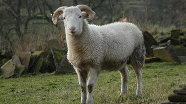 What Sound Does a Sheep Make?