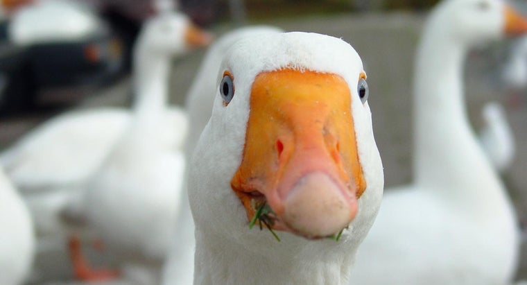What Sounds Do Geese Make?