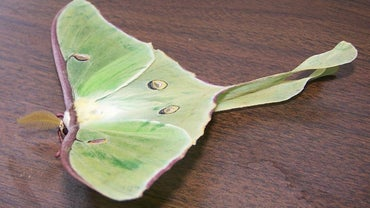 What Is the Spiritual Meaning of Luna Moths?