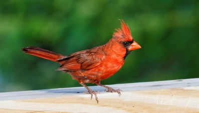 What Is the Spiritual Meaning of the Red Cardinal Bird?