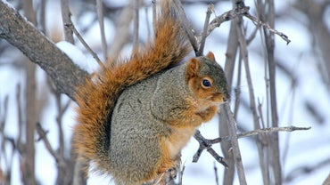 Where Do Squirrels Go in the Winter?