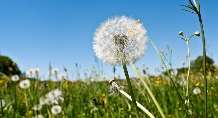 What Are The Stages Of A Dandelion Reference