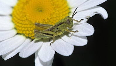 What Are the Stages in the Life Cycle of a Grasshopper?