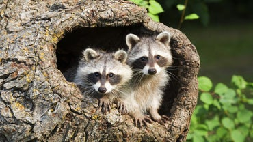 Are There Any States Where It Is Legal to Have a Pet Raccoon?