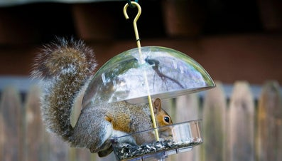 What Is a Natural Squirrel Repellent?