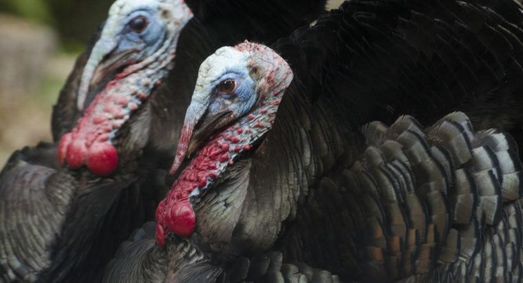 What Is a Group of Wild Turkeys Called?
