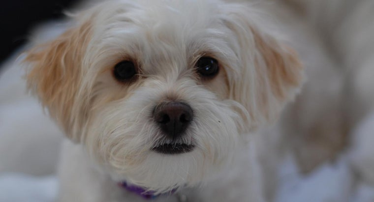 Where Are There Free Stock Photos of a Shih-Poo?