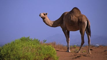 What Is Stored in a Camel's Hump?