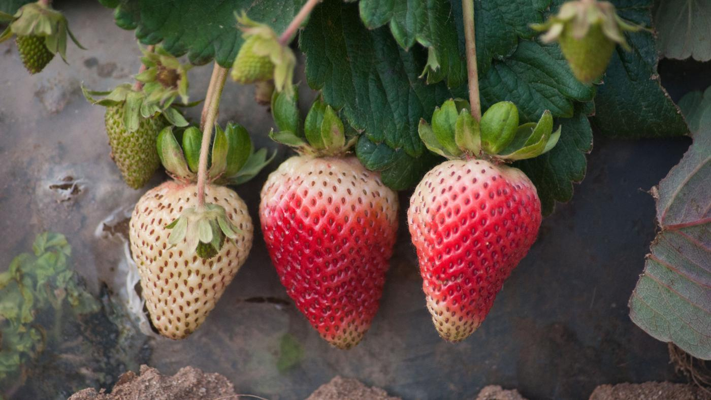 Strawberry plants reproduce asexually