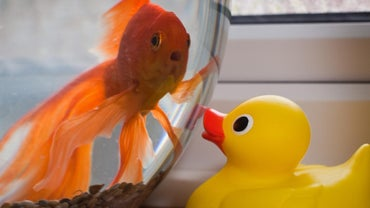 How Do You Know When a Goldfish Is Stressed Out?