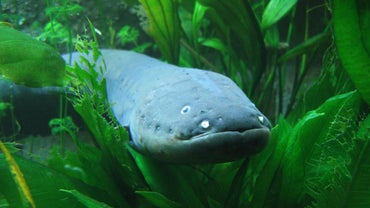 How Strong Is an Electric Eel's Shock?