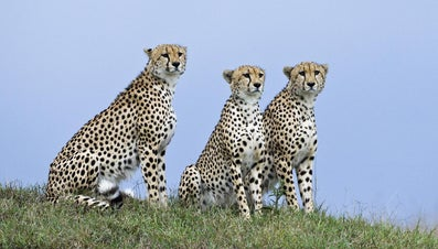 What Are the Structural Adaptations of a Cheetah?