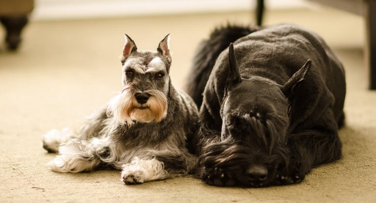 Is There Such a Thing As a Brown Schnauzer?