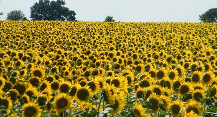 How Do Sunflowers Disperse Their Seeds?