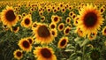 What Are Sunflowers Used For?
