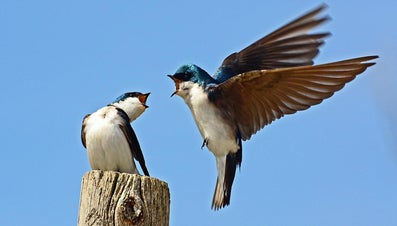 Why Does the Swallow Have Strong Wings?