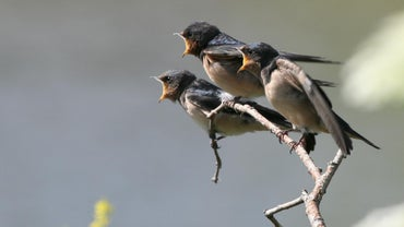 What Does a Swallow Symbolize?