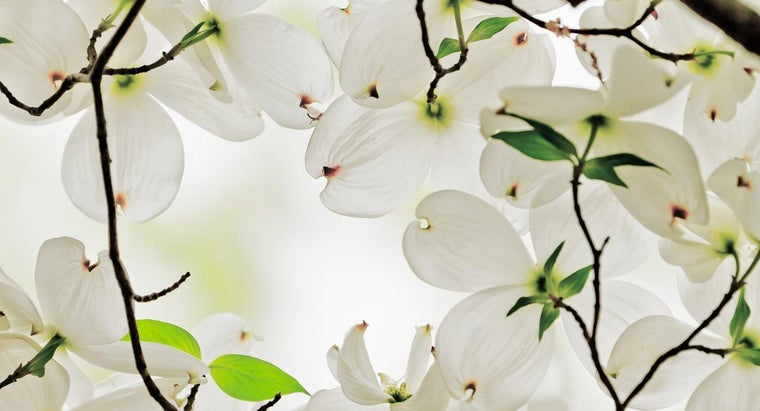 What Is The Symbolism Of Dogwood Blossoms Reference