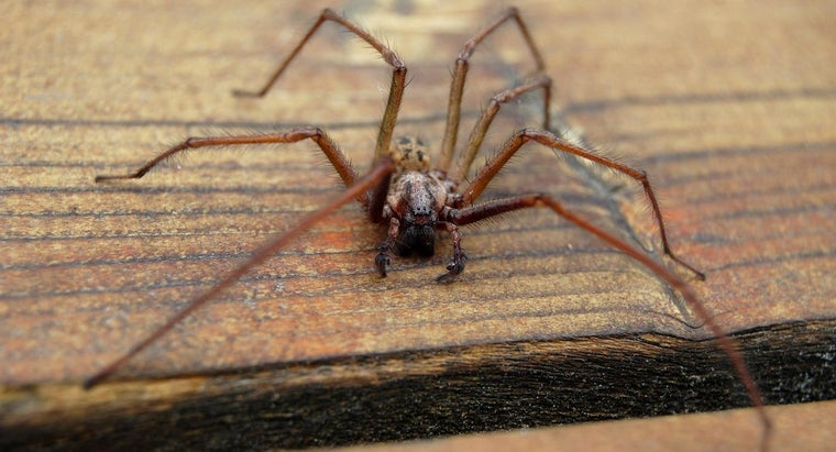 What Are the Symptoms of a Hobo Spider Bite?