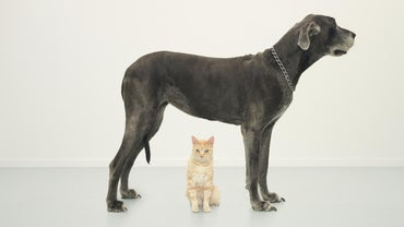 How Tall Are Great Danes?