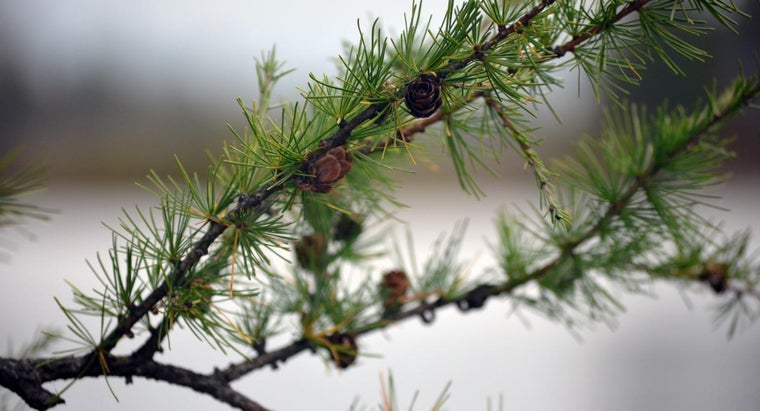 What Is the Tamarack Tree?
