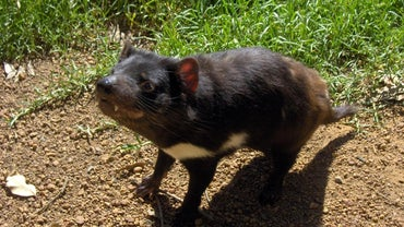 What Do Tasmanian Devils Eat?