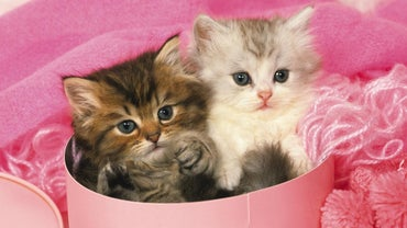 What Is a Teacup Persian Kitten?