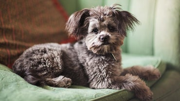 What Is The Typical Cost Of A Yorkie Puppy Referencecom