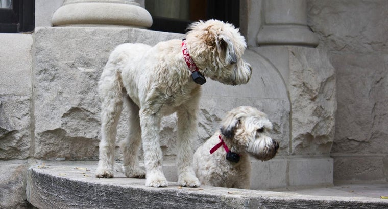 What Are Some Techniques for Grooming a Wheaten Terrier?