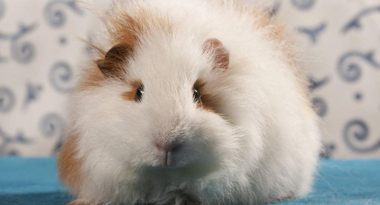 What Is a Teddy Bear Guinea Pig?