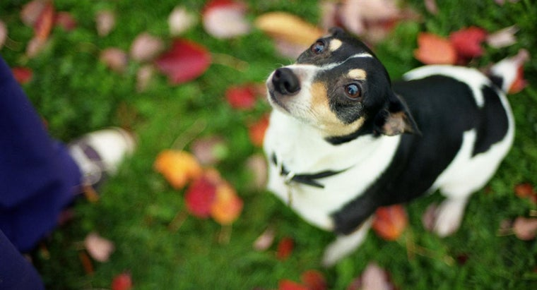 How Do You Tell The Difference Between A Toy Rat Terrier And A