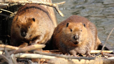What Is the Term for a Baby Beaver?