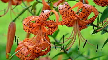 When Do Tiger Lilies Bloom?