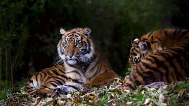 How Do Tigers Communicate?