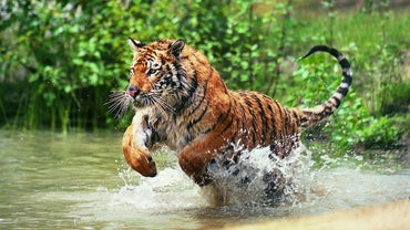 Do Tigers Live in the Jungle?