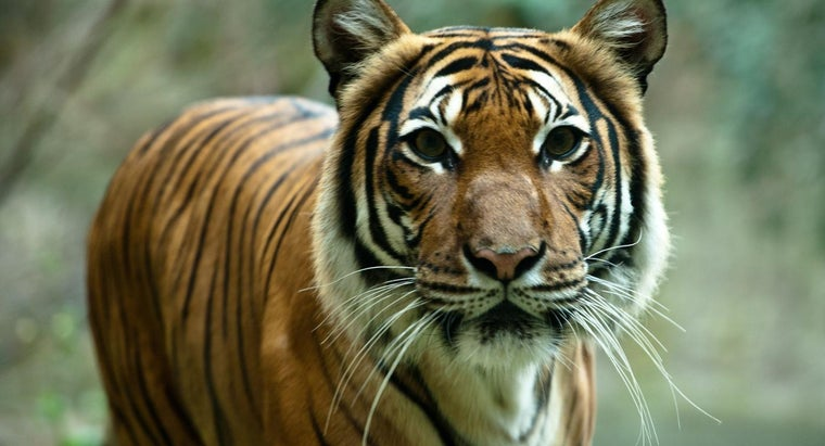 Why Are Tigers at Risk of Extinction?