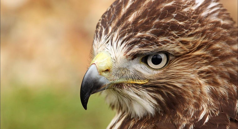 What Are Tips for Identification of Birds of Prey?