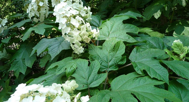 What Are Some Tips for Pruning an Oakleaf Hydrangea?