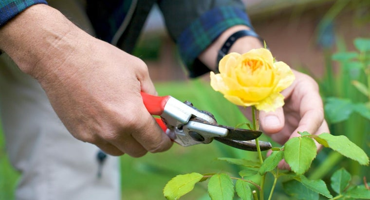 What Tools Are Needed to Prune Rose Bushes?