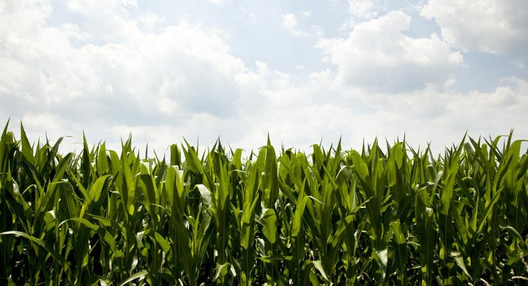 What Are the Top Five Corn-Producing States?