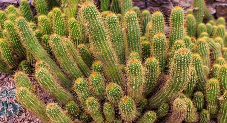 What Is a Torch Cactus?